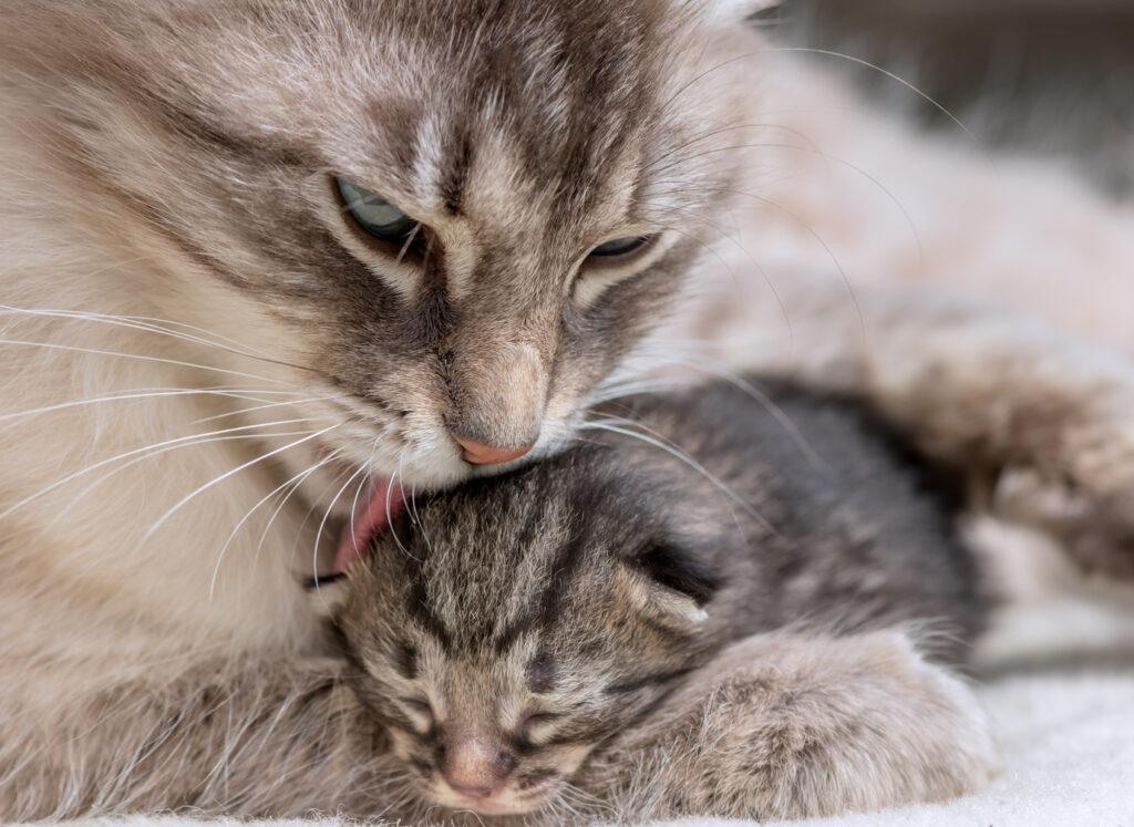Katze säubert Kitten