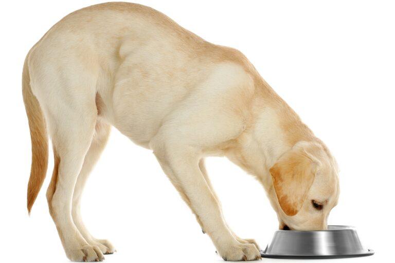 Ernährung eines Labrador Retriever