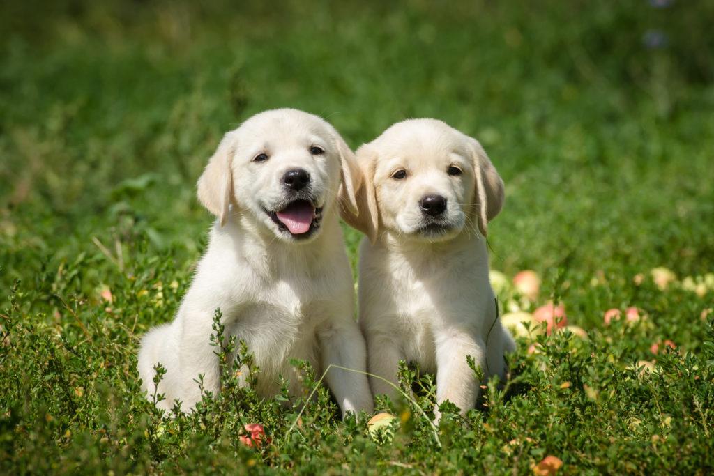 Zwei Labradorwelpen sitzen auf einer Wiese