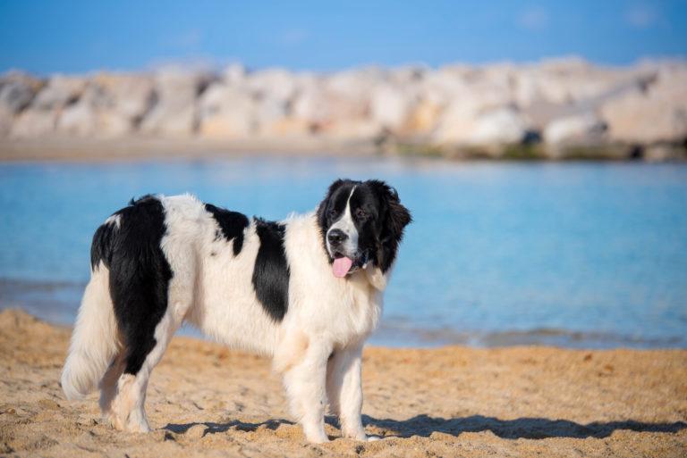 landseer hund am strand