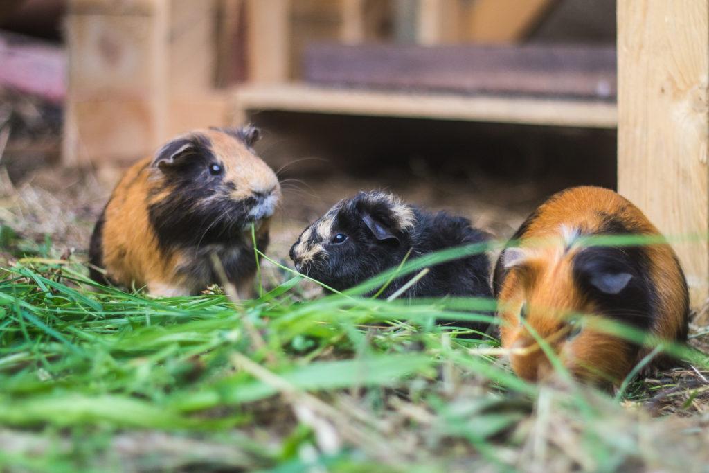 meerschweinchen außenhaltung