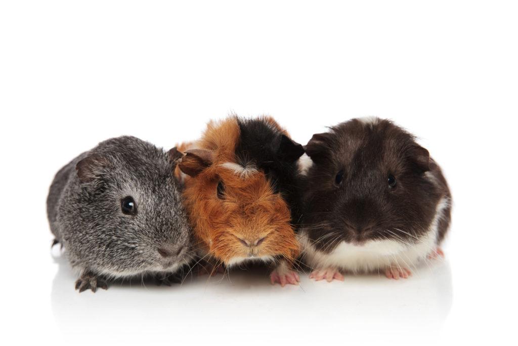 Meerschweinchen Rassen Charakter Haltung Pflege Zooplus