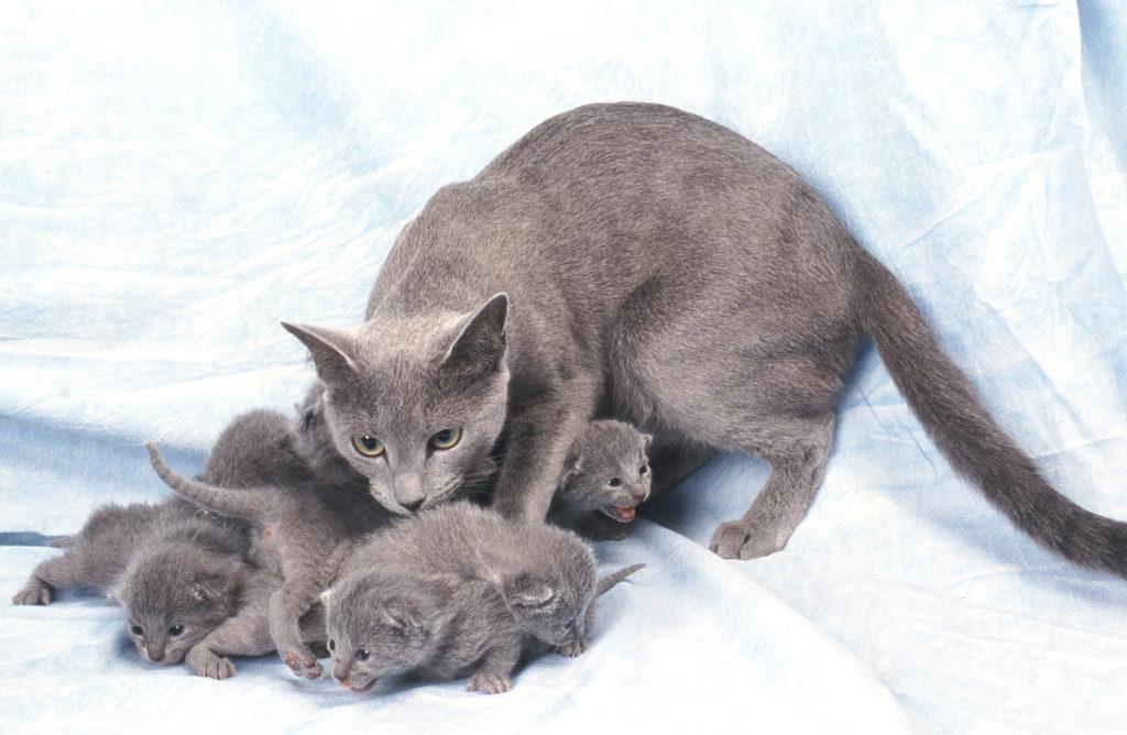 ruska-plava-mama-s-mačićima