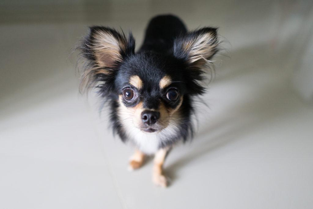 schwarz chihuahua