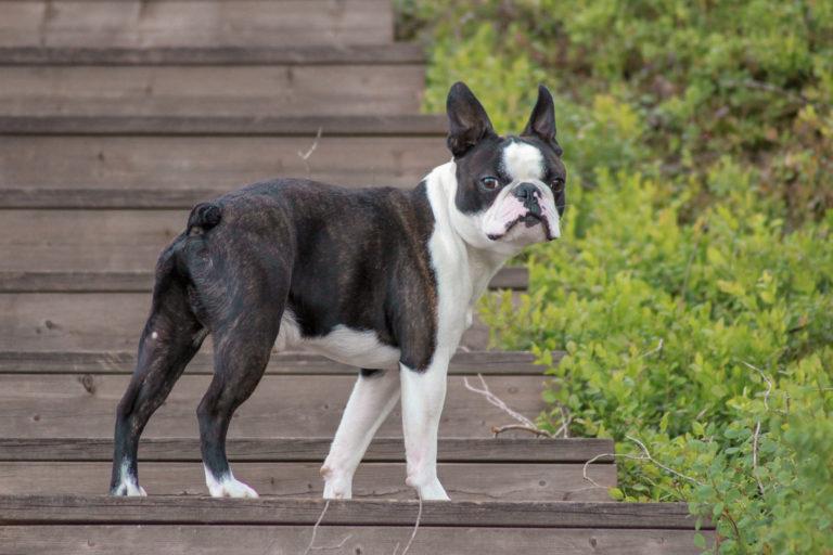schwarz und weiß boston terrier