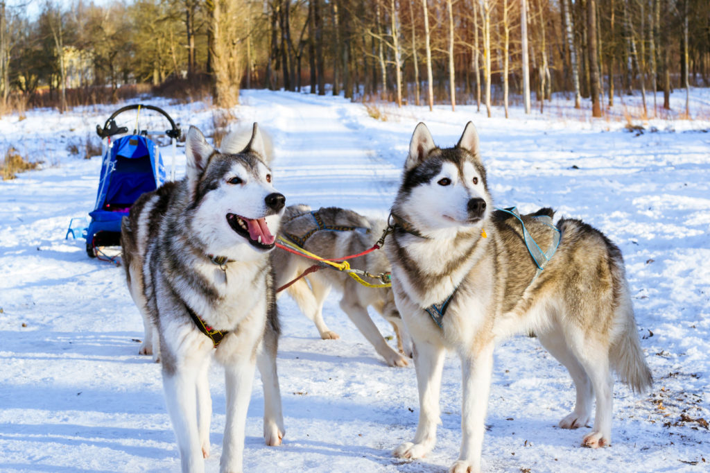 Siberian Huskys am Schlitten