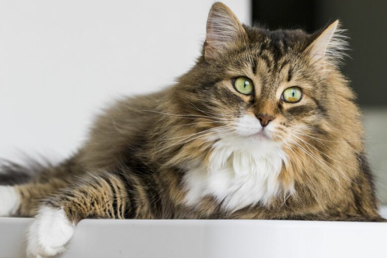 Sibirische Katze liegt auf einem Tisch