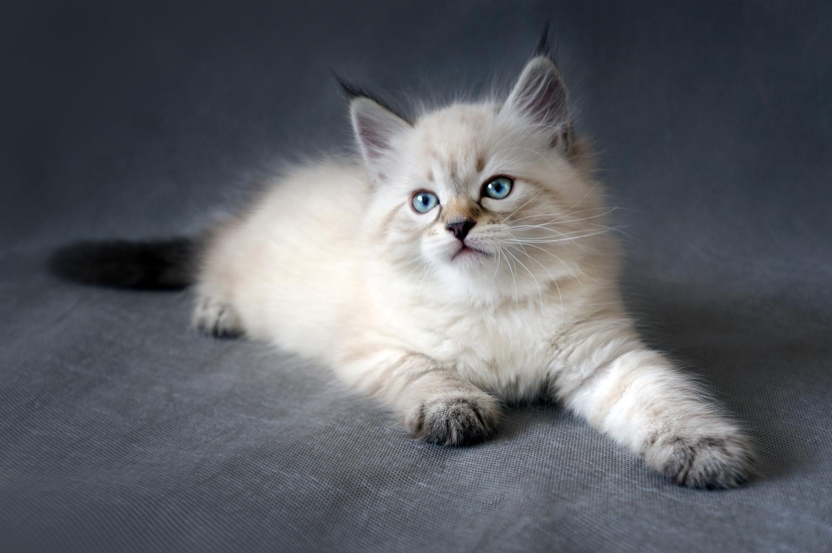 sibirische katze kitten
