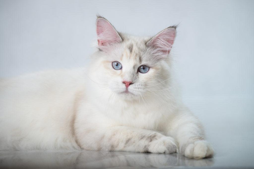 sibirische katze weiss