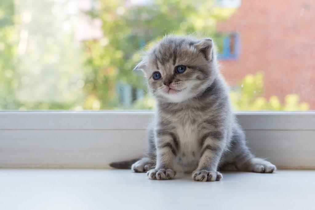 tabby scottish fold kitten
