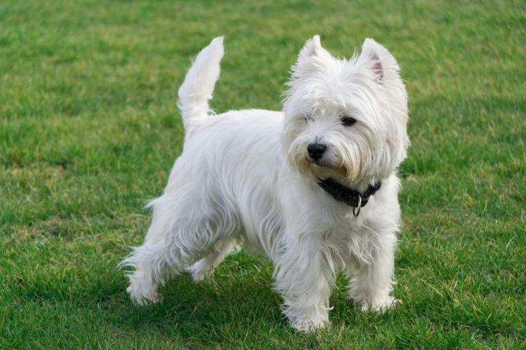 west highland white terrier im grass