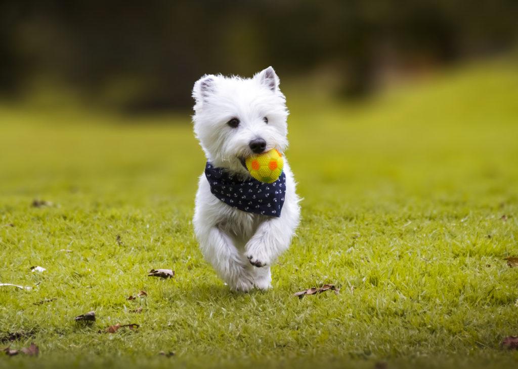 west highland white terrier spielt