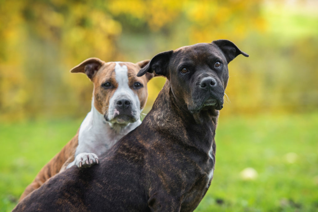 zwei American Staffordshire Terrier Hunde