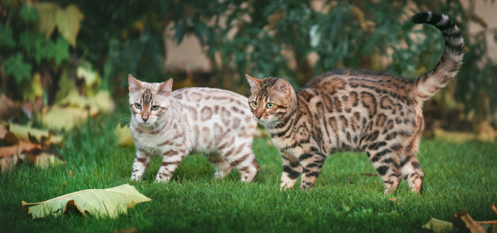 zwei bengal katze beide farben