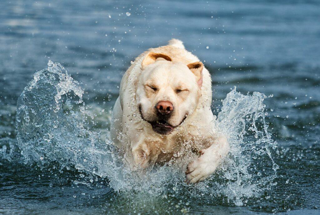 zu dicker Labrador im Wasser