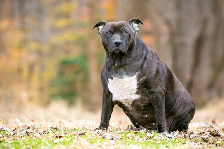 Pit Bull Mix Hund mit Übergewicht