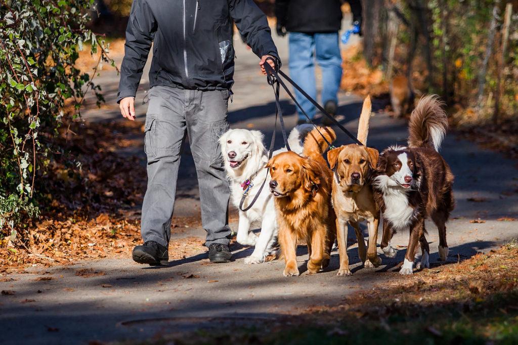 Mann geht Gassi mit mehreren Hunden an der Leine.