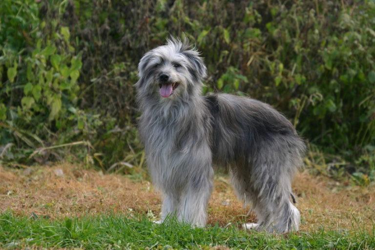 Pyrenäenschäferhund im grass