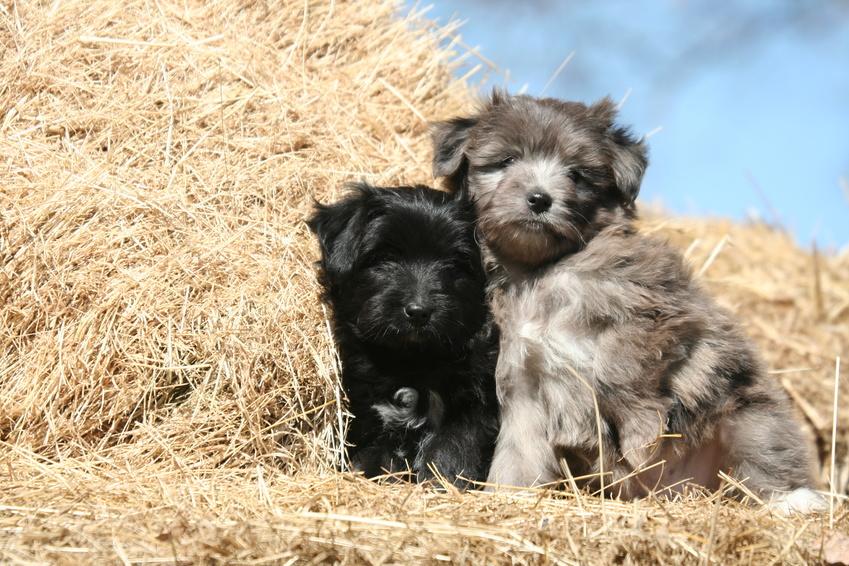 Pyrenäenschäferhund welpen