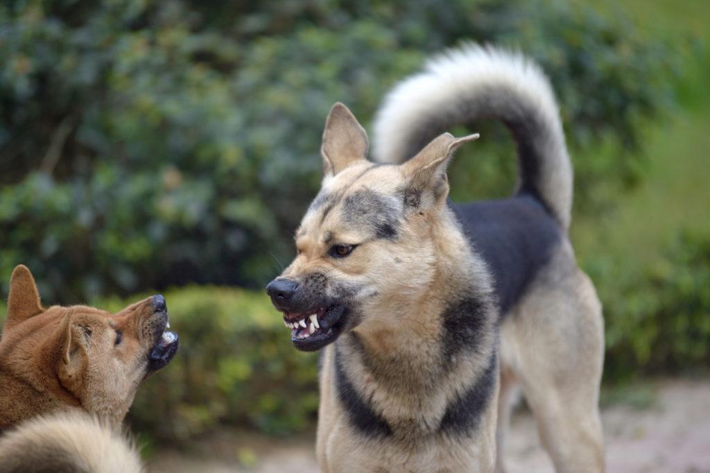 Zwei Hunde knurren sich an und fletschen die Zähne.