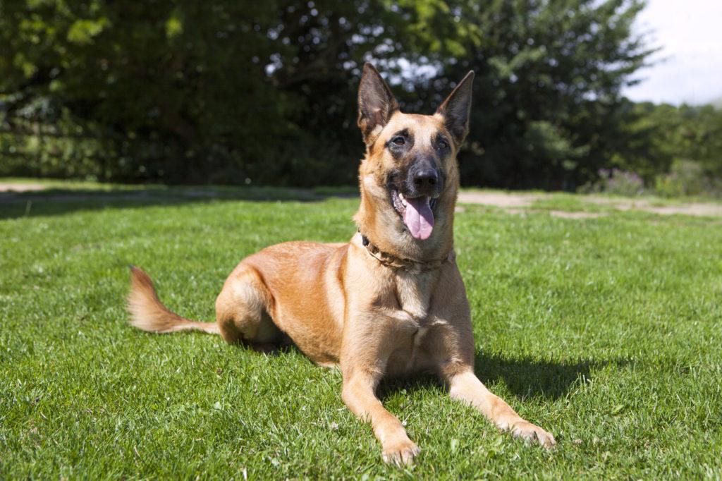 belgischer schäferhund im grass