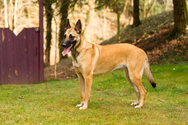 Der Belgischer Schäferhund (Malinois)
