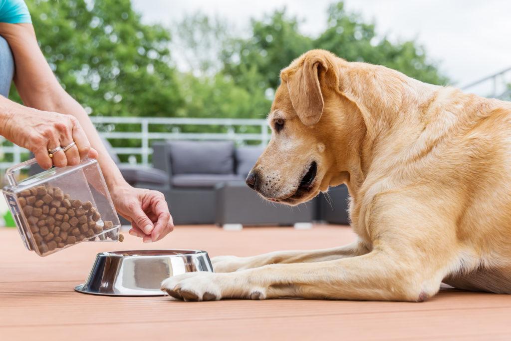 labrador wartet auf trockenfutter