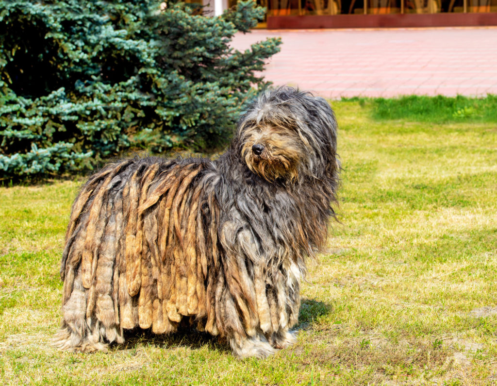 bergamasker hirtenhund im grass