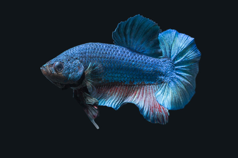 blaue kampffisch