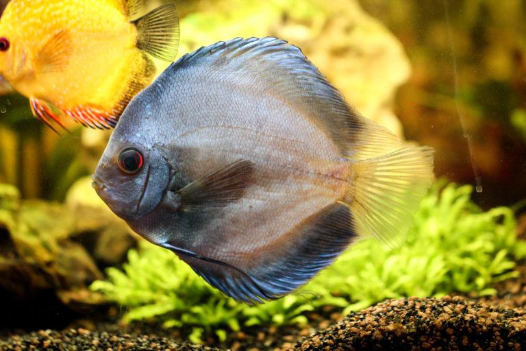 Diskusfisch