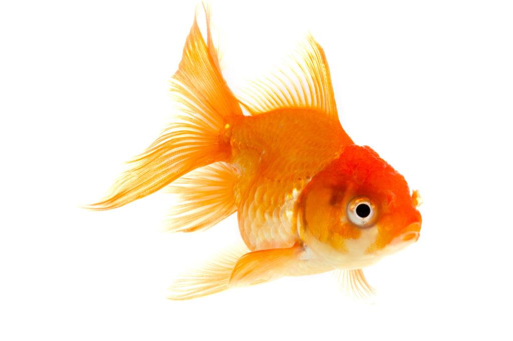 karpfenfisch