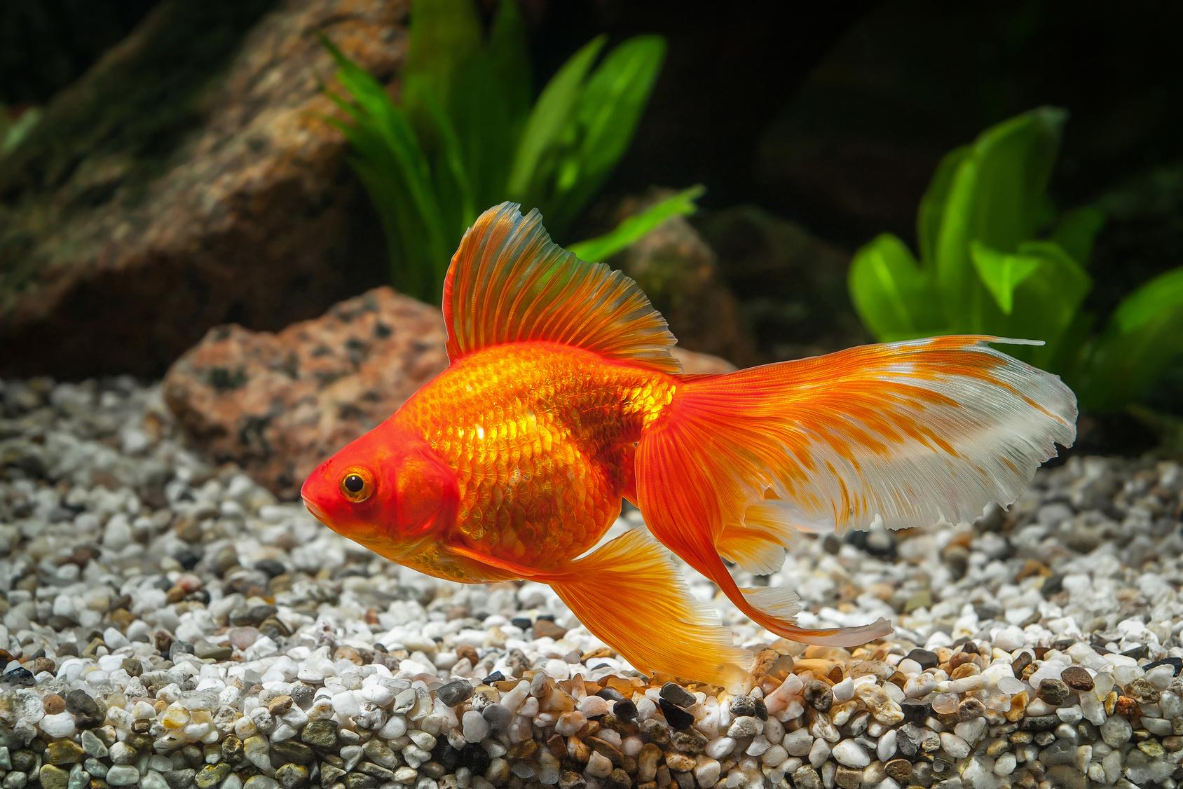 Goldfisch Haltung im Aquarium | zooplus Aquaristik Magazin
