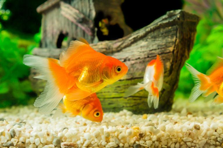 goldfisch haltung im aquarium zooplus aquaristik magazin. Black Bedroom Furniture Sets. Home Design Ideas