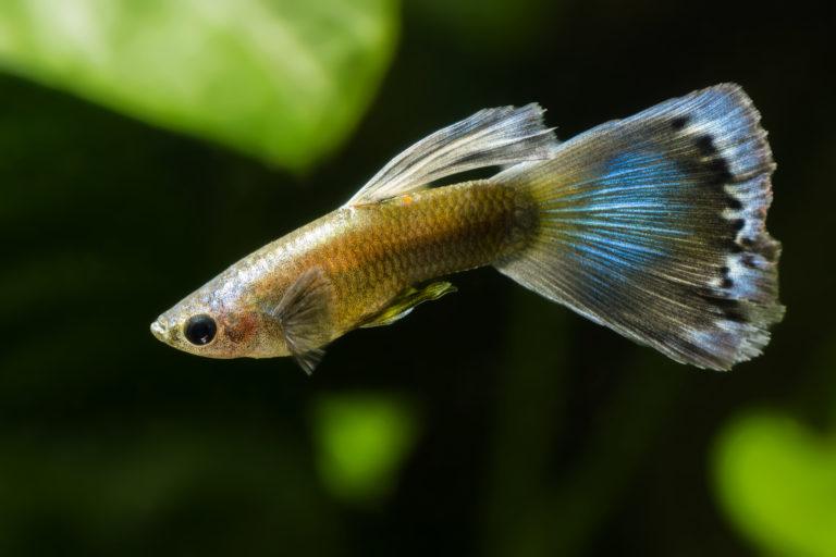 guppy fisch