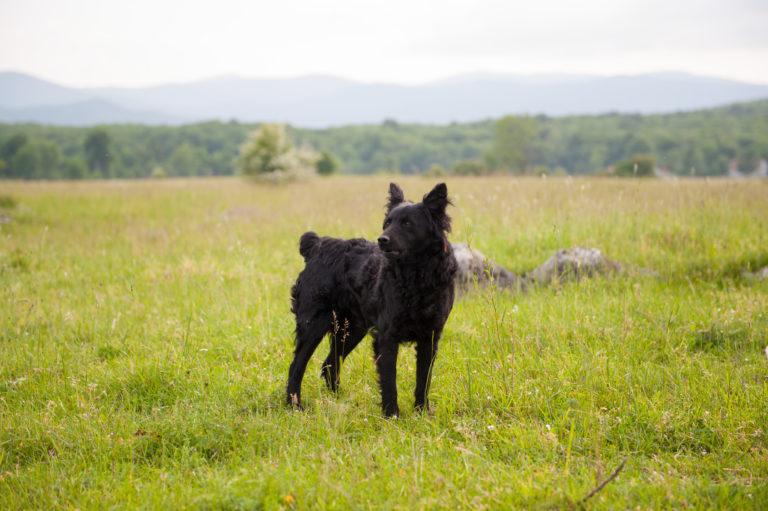 kroatischer schäferhund im grass
