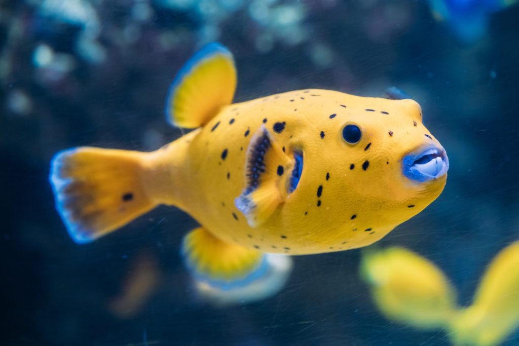 Gelber Kugelfisch im Meer