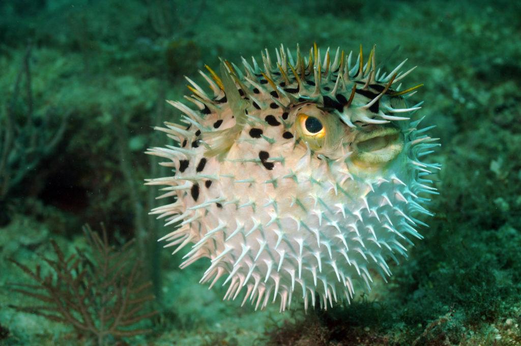 Aufgeblasener Kugelfisch im Aquarium