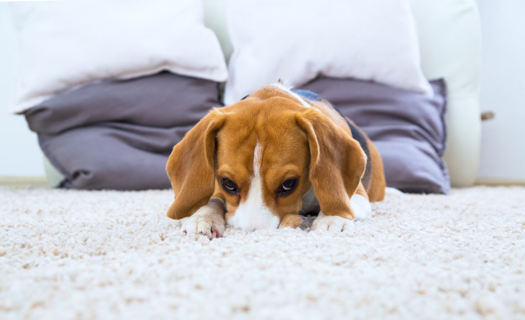 schuldiger Beagle Welpe