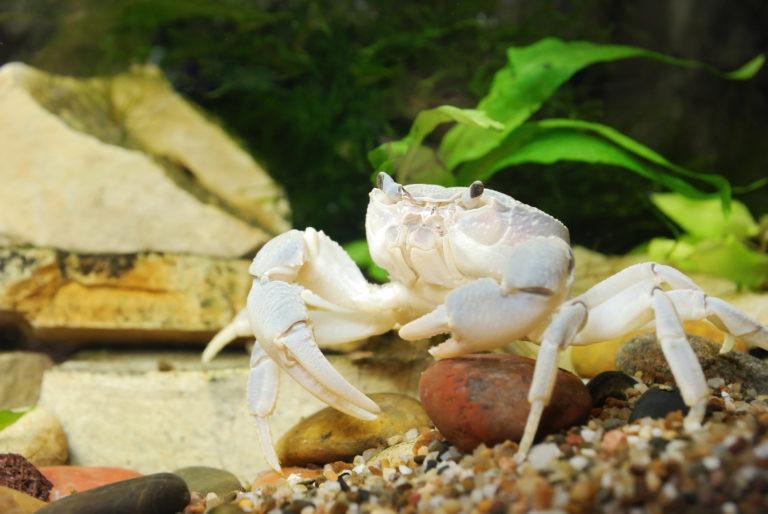 weiss krabbe
