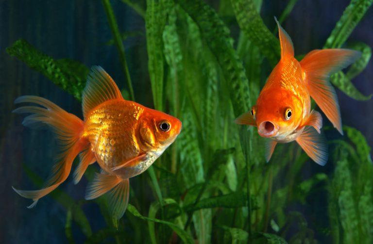 zwei goldfische