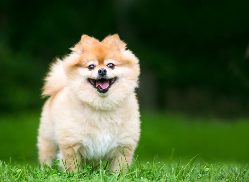 zwergspitz im grass glücklich