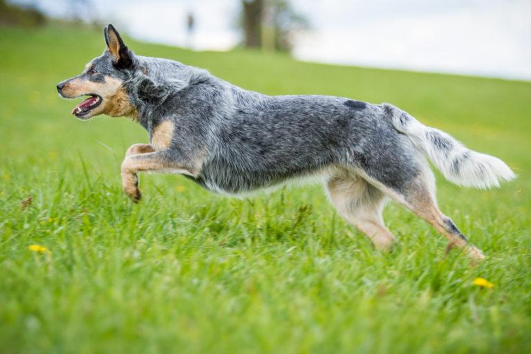 Australian Cattle Dog Charakter Haltung Pflege Zooplus