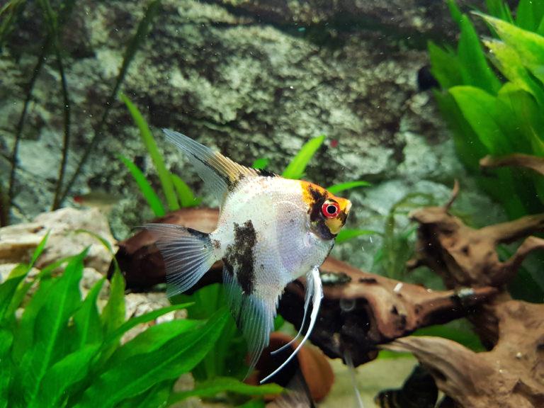 Skalare (Segelflosser) Haltung im Aquarium | zooplus Magazin