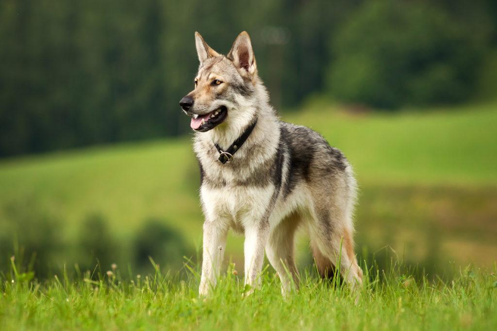 Tschechoslowakischer Wolfshund Charakter