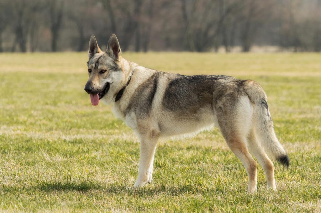 Tschechoslowakischer Wolfshund im grass