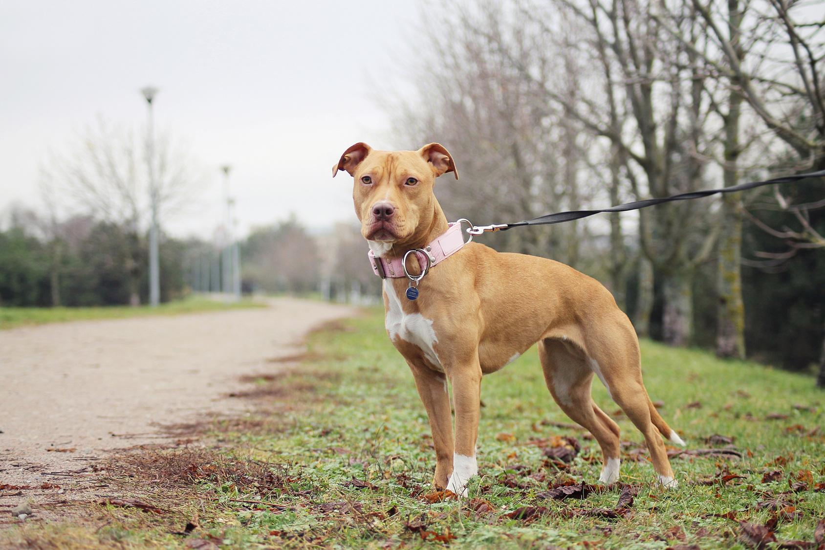 American Pit Bull Terrier Charakter Haltung Pflege Rassebeschreibung