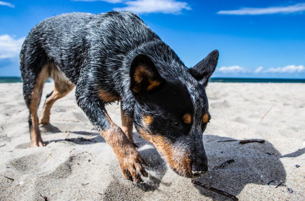 australian cattle dog strand