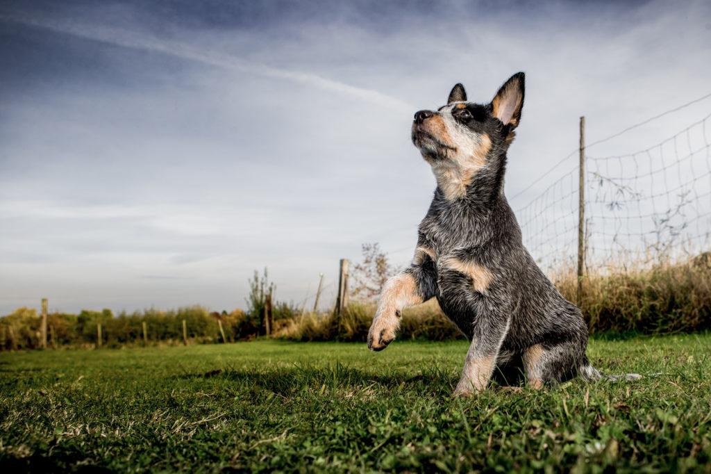 autralian cattle dog welpe