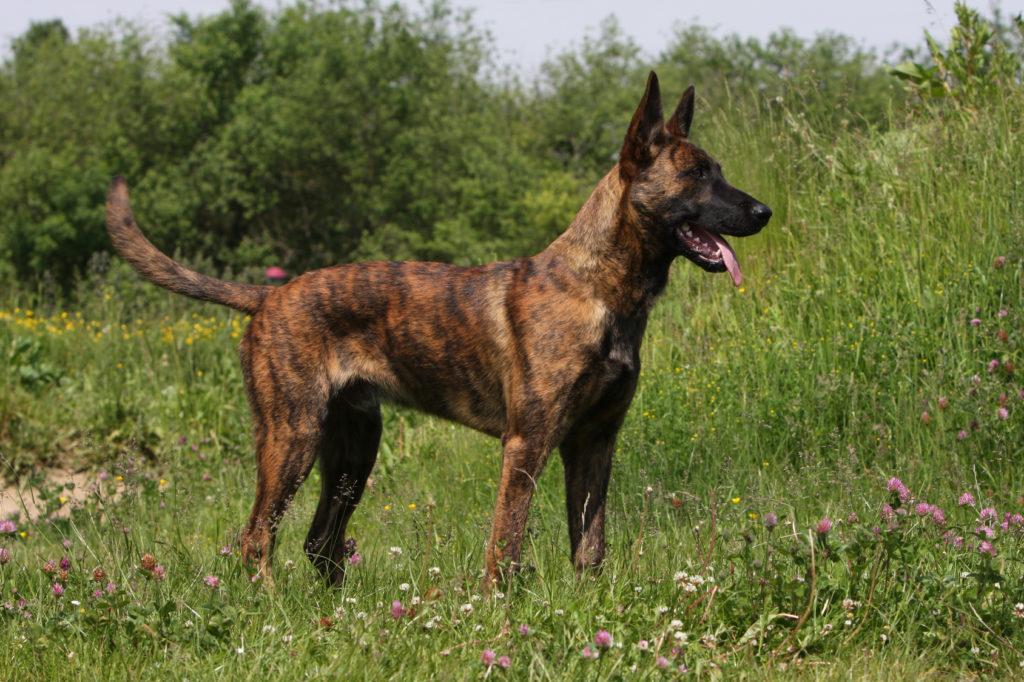Pomsky Charakter Haltung Pflege Hunderassen Zooplus Ch
