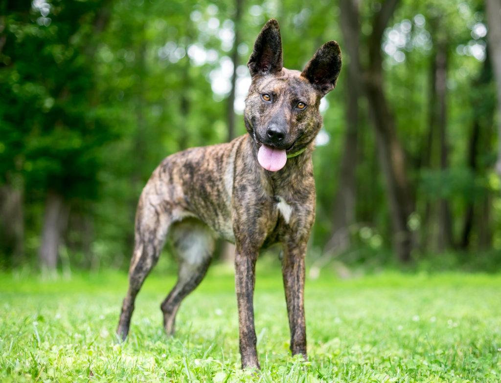 holländischer schäferhund portrait